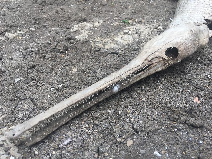 This Sick Washed Up Gar Skeleton I Found