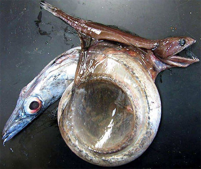 Black Swallower Died Trying To Eat A Fish 4 Times Its Size