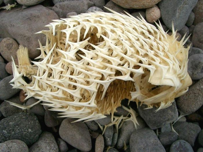 The Skeleton Of A Puffer Fish Is Pretty Metal