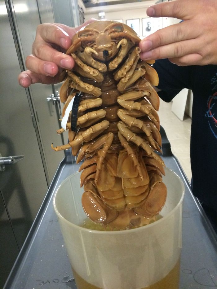 The Giant Isopod, Found In The Deep Seas And Is An Example Of Deep-Sea Gigantism
