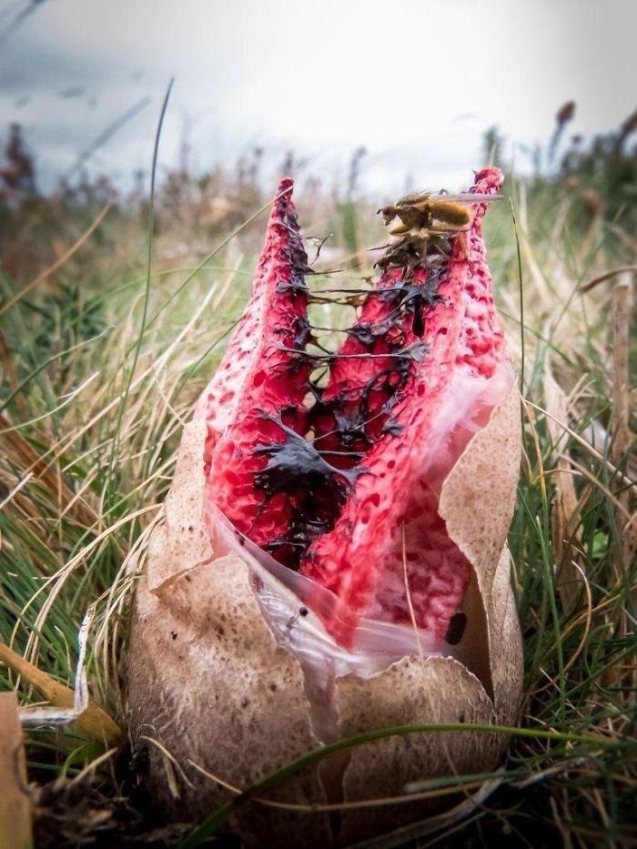 The Clathrus Archeri Fungus Resembles Some Pretty Metal Tentacles Sprouting From An Alien Egg When It Blooms