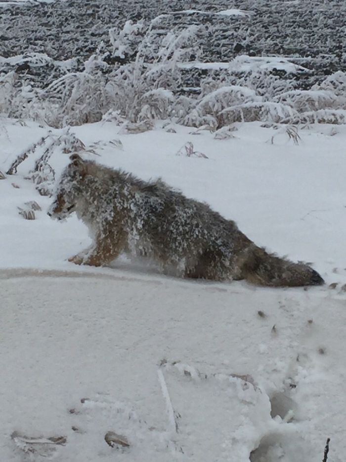 My Aunt Found A Coyote Frozen Solid Standing Upright On Her Property