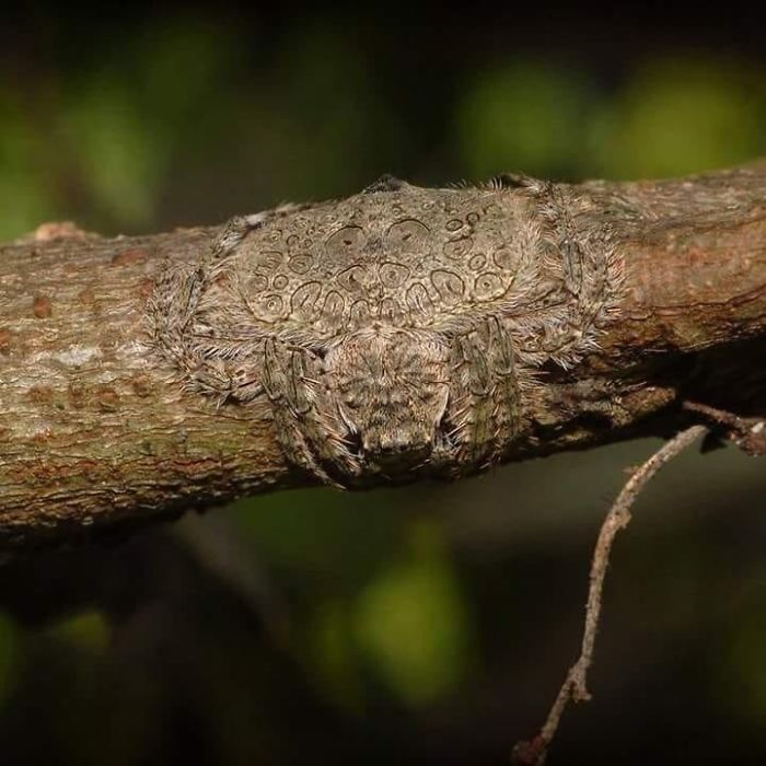 Wrap Around Spider, Named For Its Ability To Flatten And Wrap Its Body Around Tree Limbs