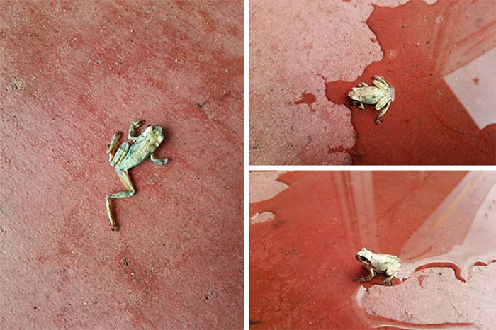 This Frog Was Found All Dried Up And Withered Outside The Store In The Morning... The Store Manager Said,